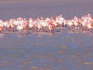meer flamingo's