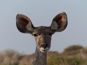 Kalahari woestijn - nieuwsgierige koedoe