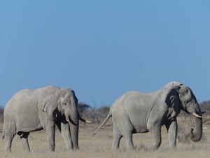 Etosha nationaal park - olifanten