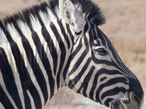 Etosha national park - zebra