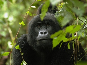19 - Congo - berggorilla (3)