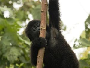 21 - Congo - berggorilla (5)