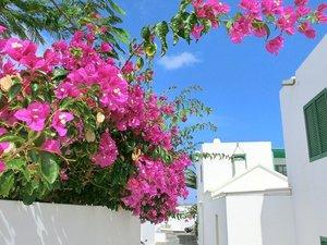 Kleurrijke Bougainville op Lanzarote