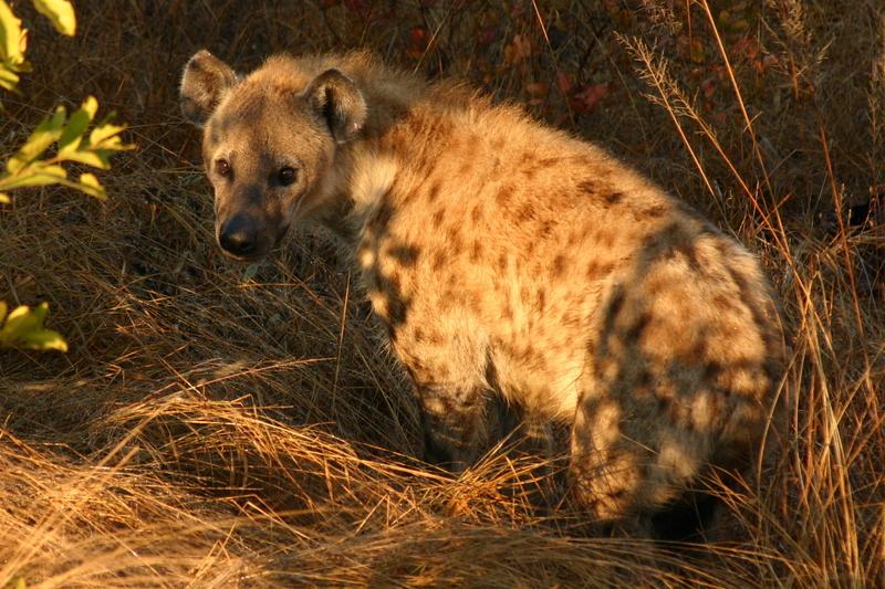 Botswana - hyena