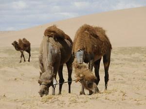 Kamelen onderweg