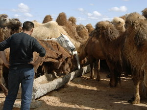 Drenken van het vee