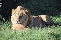 kenia leeuw masai mara djoser
