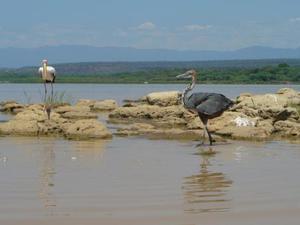 Lake Baringo - Vogels