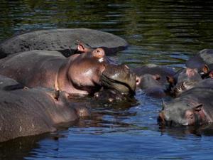 Mara Rivier - Nijlpaarden