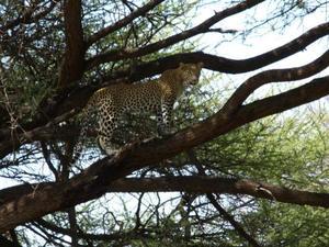 Serengeti - Luipaard