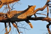 Luipaard Pilanesberg Zuid-Afrika Djoser