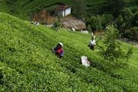 Theeplantage Nuwara Eliya Sri Lanka