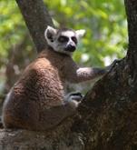 Madagascar lemuur Djoser