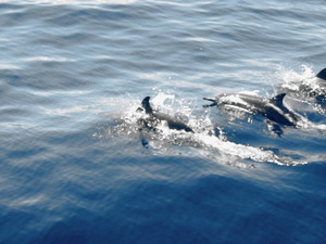 Flores Maumere Dolfijnen