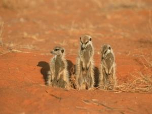Zonnende meerkatten