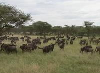 Tanzania Serengeti gnoemigratie Djoser