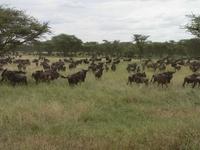 Serengeti Tanzania Gnoe Djoser
