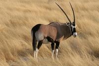 Oryx bok Etosha Namibië