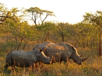 Witte neushoors Marakele nationaal park Zuid-Afrika Djoser