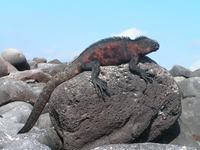 Zonnende Leguaan Galapagos Ecuador Djoser