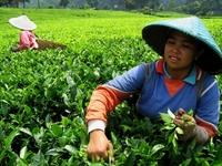 Java Indonesië theeplukkers