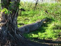 Australie krokodil Djoser