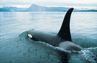 orca whal whatching tour british columbia canada Djoser
