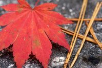Japanse es herfst Djoser