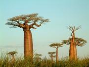 Madagaskar Morondava Baobabs Djoser