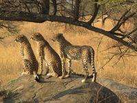 Namibie Kamanjab cheeta's Djoser