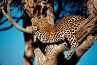 Luipaard Zuid-Afrika