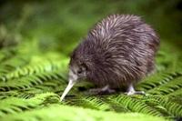 Kiwi Vogel Nieuw Zeeland Djoser