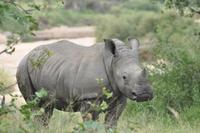 Zuid Afrika wildspotten neushoorn Djoser