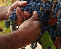 Druiven wijn Argentinië