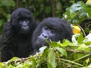 18 - Congo - berggorilla (2)