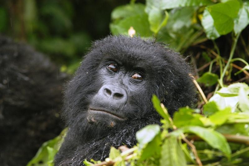 23 - Congo - berggorilla