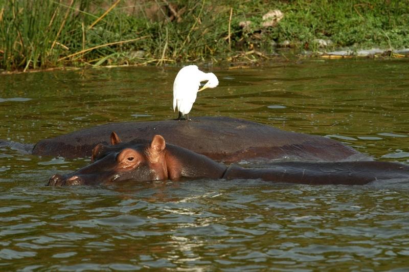27- Kazingakanaal - nijlpaard