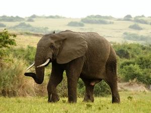 31 - Queen Elisabeth NP - olifant