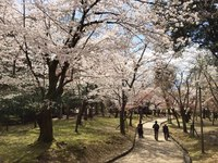 Japan Nara kersenbloesem Djoser