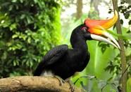 Maleisie Borneo neushoornvogel Djoser