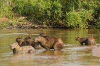 Pantanal capibara Brazilië Djoser