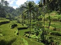 Reistvelden Ubud Indoenesie
