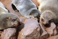 Zeeleeuw Cape Cross Namibië Djoser