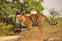 India - Corbett nationaal park - tijger