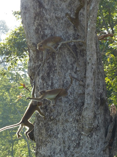 Sri Lanka - Wilpattu nationaal park - spelende apen