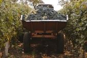 Moldavie wijngaard druiven
