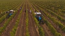 Moldavie Chateau Vartely wijnplukkers veld