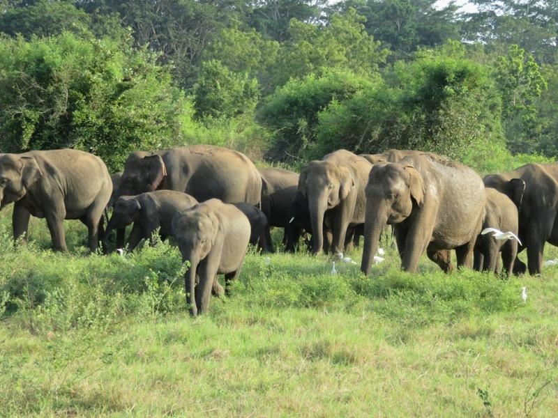 Kudde olifanten Minneriya nationaal park