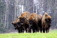 Bisons Polen