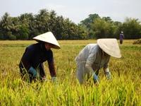 Rijstveld mensen Vietnam